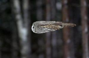 An owl in flight